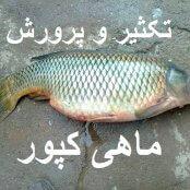 تکثیر و پرورش ماهی کپور