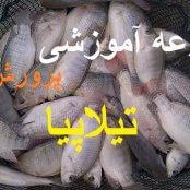 آموزش پرورش ماهی تیلاپیا به همراه طرح توجیهی و تصاویر