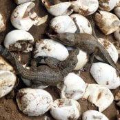 پرورش کروکودیل – با تاکید بر گونه ایرانی گاندو